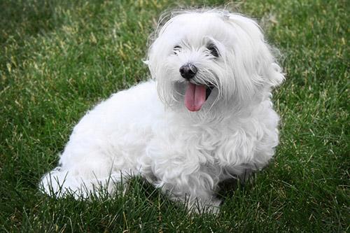Maltézsky pes, fotka: flickr.com/adgpage